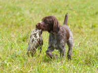 Young Hunting dog