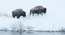 Buffalo In Snowstorm