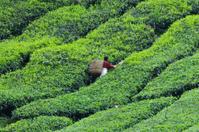 Tea harvest, Camellia Sinensis