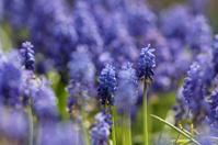 blooming hyacinth in spring