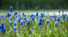Hyacinth Flowers Under Rain