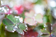 macro shot of dew drops on shamrock