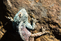 Head of blue headed lizard