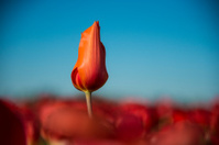 Solitary tulip among many