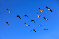 Flying Group Of Geese