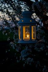 Lantern on a cherry tree