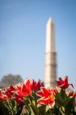Washington Monument Spring Flowers Undergoing Repair Constructio