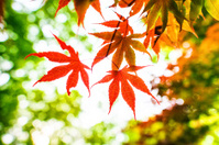 Maple Leaves in Spring