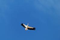 Stork  flying in blue sky