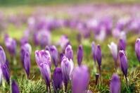 crocus sativus on a meadow