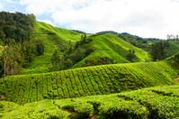 Hills of tea plantation