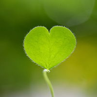 Closeup of green clover
