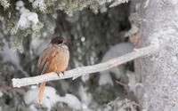 Siberian Jay sittin on frosty branch