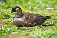 Resting Nene Goose