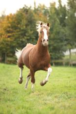 Welsh pony stallion running