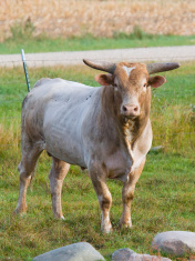 Large Bul