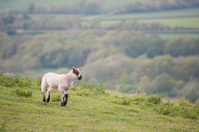 Spring lamb in rural farm landscape