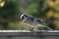 BlueJay on railing Four
