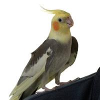 Cockatiel on Shoulder