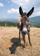 donkey (nosy ass)