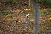 Lemur, Ring-tailed (L. catta)
