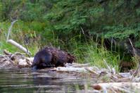 Beaver shaking off water