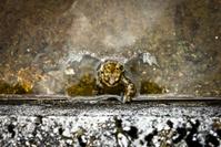 single toad behind a wall