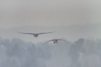 Whooper Swan (Cygnus) in winter