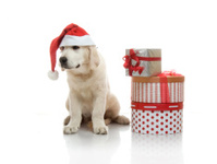 Three-month golden retriever puppy in a red Santa Claus hat