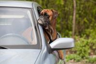 Dog behind the wheel of car