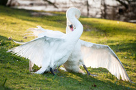 Mute swans display aggressive behaviour during mating ritual