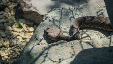 Rattle snake sunning upon a boulder on California trail