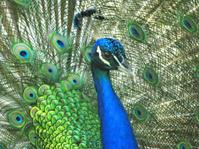 peacock bird macro