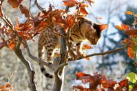 Bengal Cat climbing on small Tree