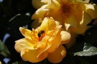 rosa amarilla con abeja en vuelo
