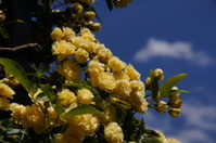 rosas amarillas fondo nubes