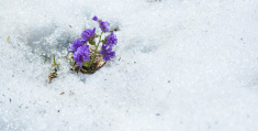 Purple Flower Blossoms in Snow Announcing Beginning of Spring