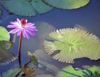 Water lily, La Moka, Las Terrazas, Cuba