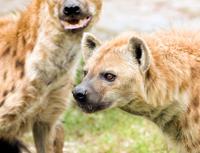 Wild Spotted Hyenas