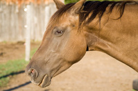 Beautiful Appaloosa Quarter Horse
