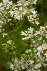 Matured Coriander Herb Blossom and Seeds in Kitchen Garden