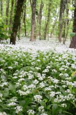 forest with wild garlic (Allium ursinum) plants