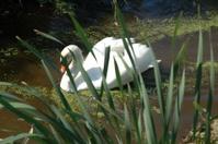 Hiding Swan