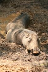 hogs in heaven
