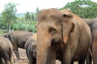 Adult Asian elephant