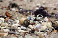 Beach crustacean