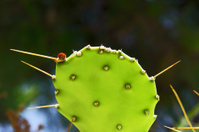 paddle cactus in Zakynthos island