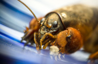 Mole cricket close up on a blue surface background
