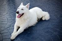 White swiss shepherd on a textured concrete ground