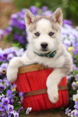 Siberian Husky puppy sitting in basket